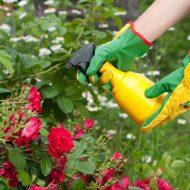 Чем подкормить розы летом