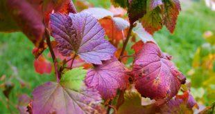 Чем подкормить смородину осенью