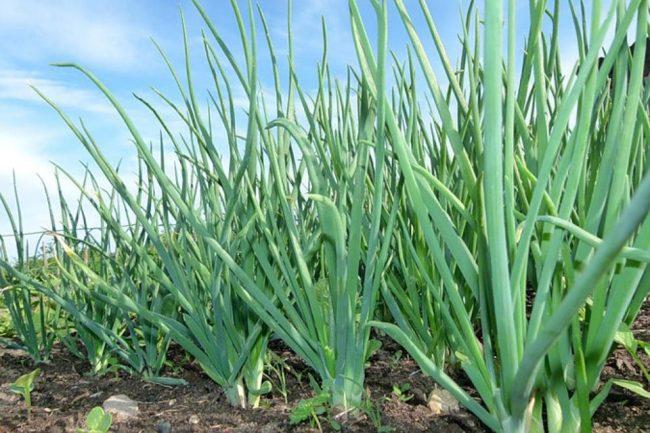 Чем подкормить землю осенью под лук