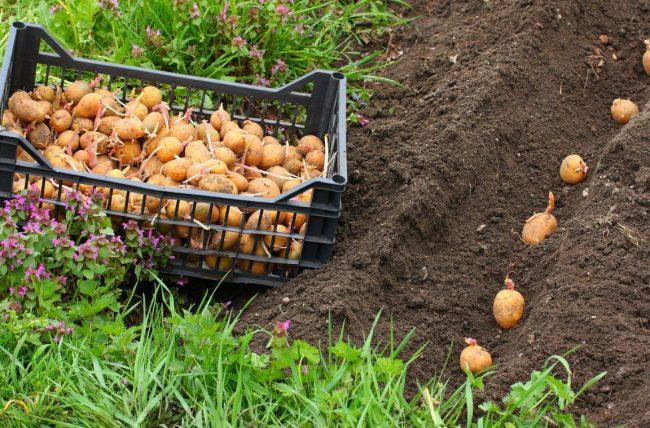 Чем удобрить землю осенью под картофель