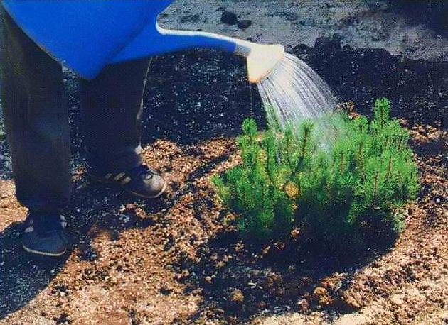 Чем удобрять осенью хвойники