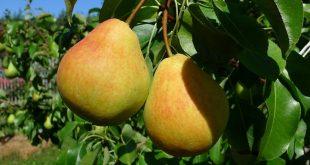 Чем подкормить грушу летом?