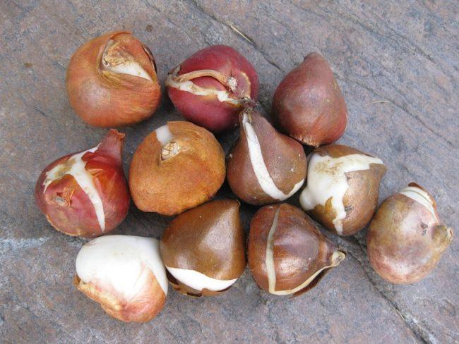Как хранить луковицы тюльпанов до осени