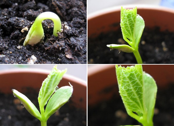 Момордика: выращивание из семян