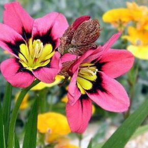 Спараксис: выращивание и уход в саду, фото