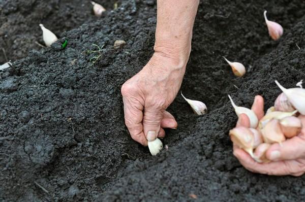 Можно ли сажать чеснок очищенный от чешуи