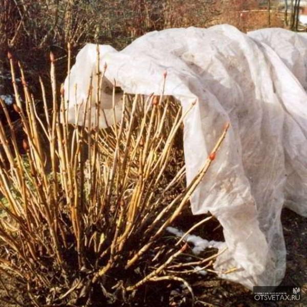 Гортензия - это один из самых красивых декоративных кустарников, которые можно поселить у себя в саду. Начинающие садоводы часто заводят это растение. Сегодня одним из наиболее часто задаваемых вопросов относительно этого цветка является такой: как укрывать гортензии на зиму и зачем это вообще нужно? Необходимо помнить, что эти растения могут быть разных видов. Именно в зависимости от этого и производится укрытие гортензии на зиму. Наиболее требовательный к этой процедуре – садовый крупнолистный сорт. Меньше всего нуждаются в укрытии гортензии метельчатая и древовидная. Обычно на участке садовода растут все эти виды, и к каждому требуется особый подход. Нужно ли обрезать гортензию на зиму? Однозначного ответа на вопрос «нужно ли обрезать гортензию на зиму?», ни один садовод с стажем вам не даст. Как правило, они говорят, что гортензия почти не нуждается в обрезании. Укорачивают побеги гортензии только в косметических целях и только в очень юных кустов. Все потому, что главные цветоносы цветка находятся на верхушках прошлогодних побегов и обрезая их, вы лишаете растения цветков в следующем году. Именно по этой причине, редко какой садовод может дать уверенный ответ на вопрос касающейся обрезания гортензии перед холодами. Обрезка гортензии осенью Обрезка гортензии, как и большинства других декоративных кустарников, производится каждый год, это стимулирует рост новых побегов и активное цветение. Основная обрезка растения производится весной, однако ряд садоводов практикует сильную обрезку на обновление под зиму. При такой обрезке коротко, на 4-5 почек подрезаются все приросты текущего года, до основания вырезаются все слабые тонкие и поврежденные побеги, увядшие соцветия. Такая обрезка стимулирует растение весной выпустить сильные, одновременно цветущие побеги. Независимо от того, производится ли обрезка гортензии на обновление осенью или весной, перед укрытием на зиму с растения удаляют листву, что способствует вызреванию побегов и их лучшей зимовке. Подкормка гортенз