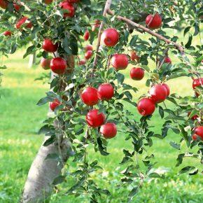 Как подготовить плодовые деревья к зиме?