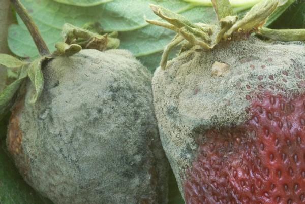 Когда сажать клубнику осенью, в каком месяце?