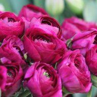 Когда пересаживать пионы весной или осенью?