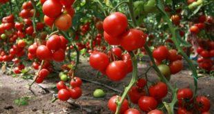 Сидераты для томатов