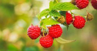 Чем подкормить малину осенью после обрезки