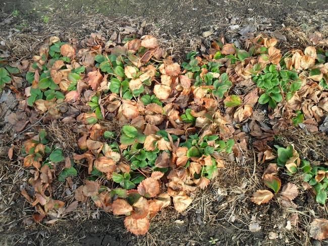 Как пересаживать клубнику осенью видео
