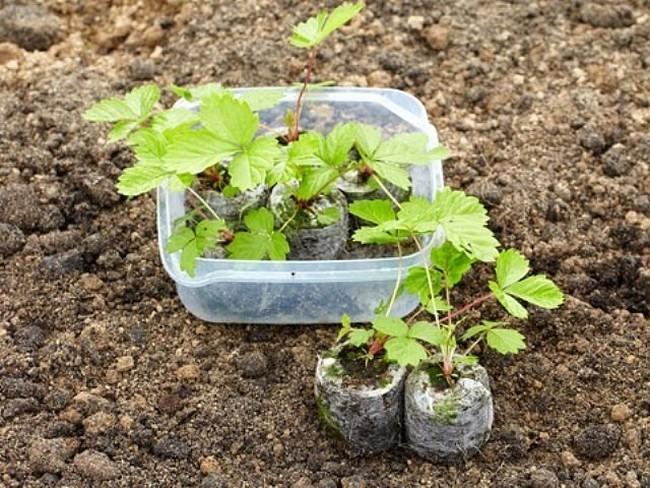 Как подготовить грядку под клубнику для посадки осенью