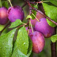 Как подкормить сливу осенью