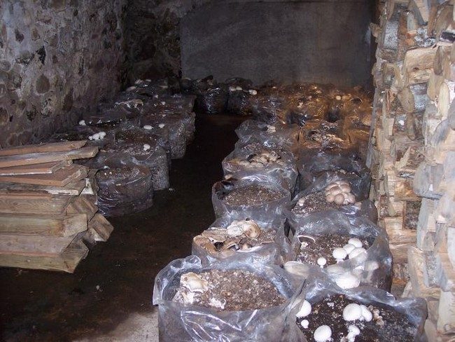 Как вырастить грибы шампиньоны в домашних условиях
