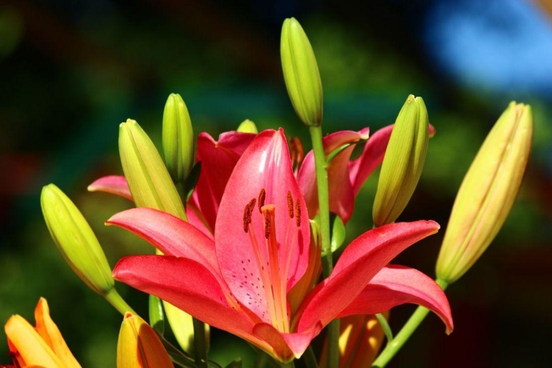 Лилии цветы когда можно пересаживать