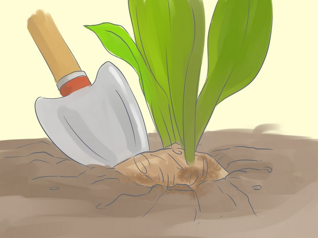 Когда выкапывать каллы осенью