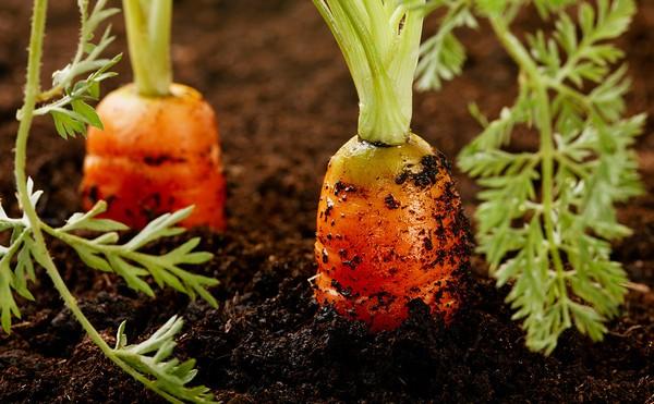 Когда выкапывать морковь?