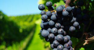 Можно ли пересадить виноград осенью на другое место