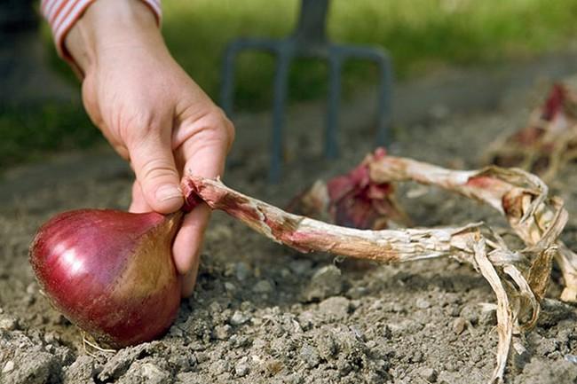 Сроки посадки лука осенью