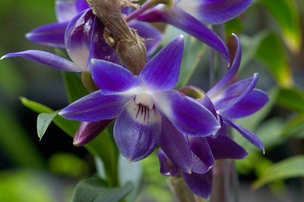 Орхидея дендробиум уход в домашних условиях Орхидея дендробиум уход в домашних условиях