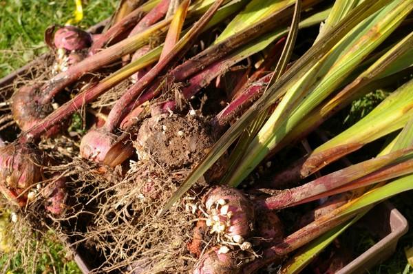 Когда выкапывать луковицы гладиолусов осенью?