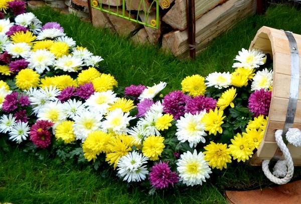 Посадка хризантемы осенью в открытый грунт