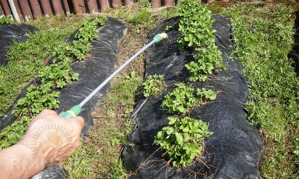Когда лучше сажать клубнику осенью?