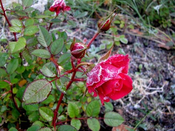 Чем подкормить розы осенью?
