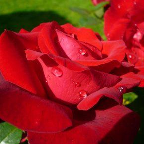 Когда можно пересадить розу на другое место?