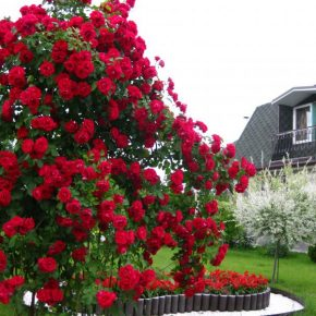 Уход за плетистой розой осенью