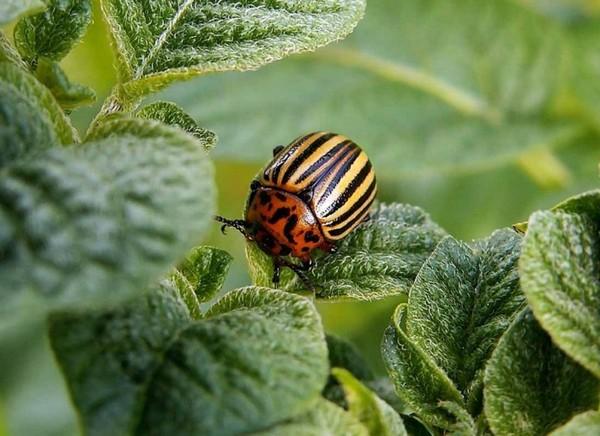 Луковая шелуха, как удобрение: для каких растений подходит?