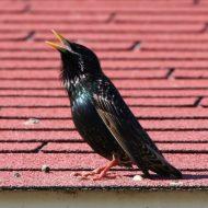 Скворцы на даче польза или вред?