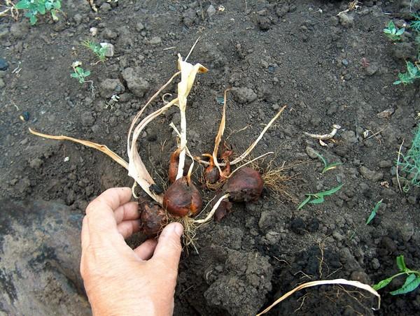 Как правильно посадить осенью луковицы тюльпанов