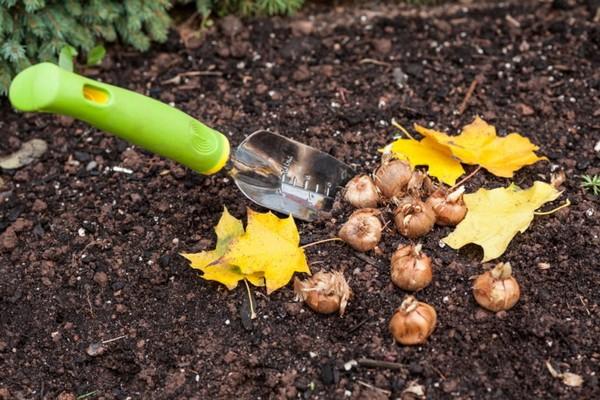 Как правильно посадить тюльпаны осенью?
