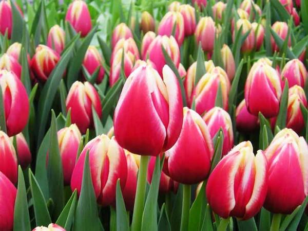 Выгонка тюльпанов в домашних условиях к 8 марта