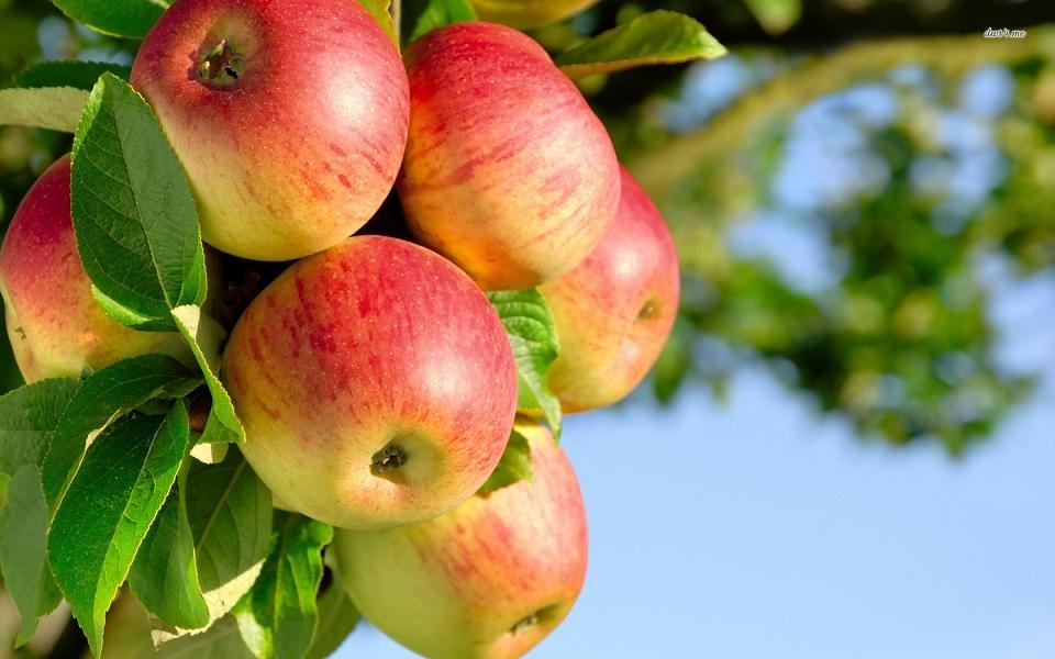 Как подкормить яблони осенью?