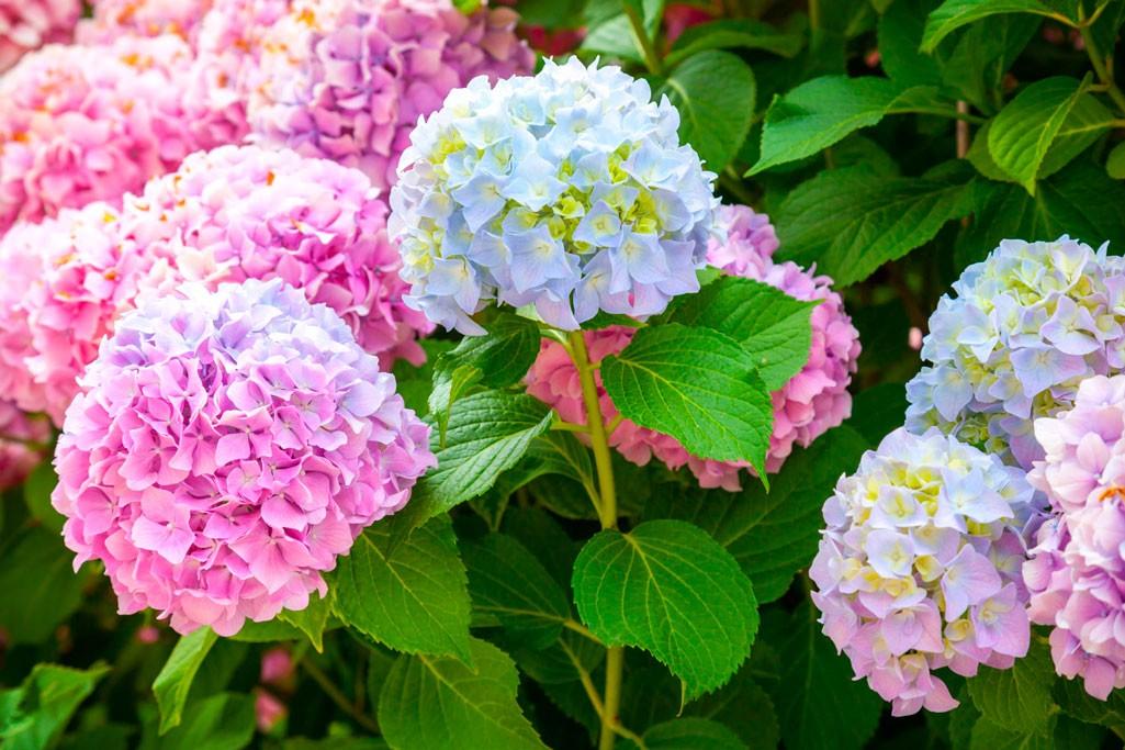 Сажаем гортензию розовую 95