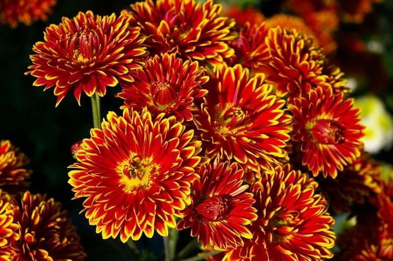 Хризантемы садовые многолетние сорта фото
