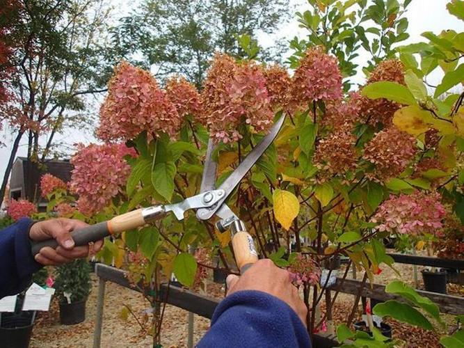 Посадка гортензии метельчатой в открытый грунт осенью