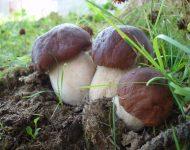 Выращивание белых грибов на приусадебном участке