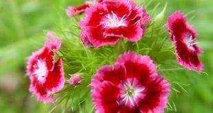 Гвоздика травянка многолетняя: посадка и уход фото