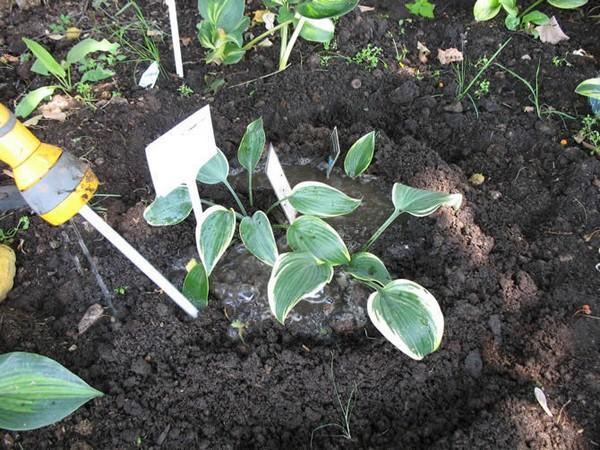 Выращивание хост семенами
