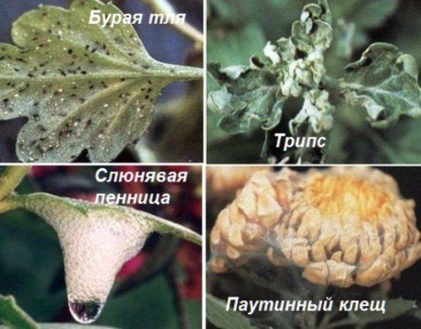 Хризантема комнатная: уход в домашних условиях