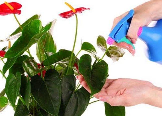 Как пересадить антуриум в домашних условиях пошагово
