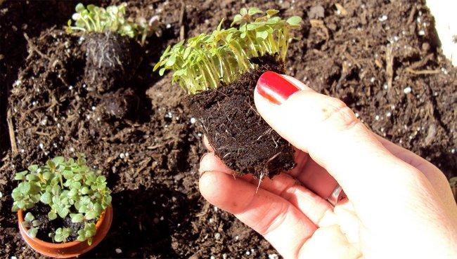 Львиный зев выращивание из семян когда сажать