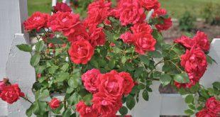 Укрытие плетистой розы на зиму видео
