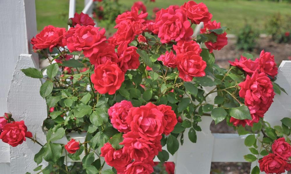 Укрытие плетистой розы на зиму
