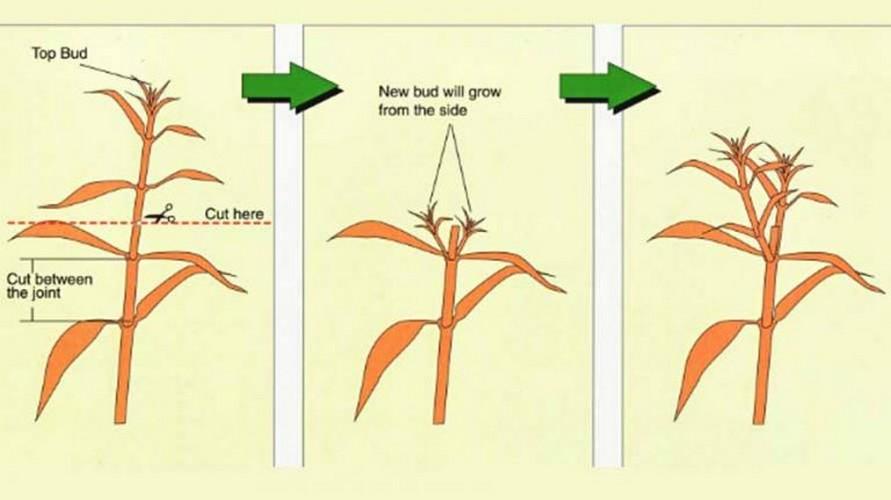 Флоксы: посадка и уход в открытом грунте